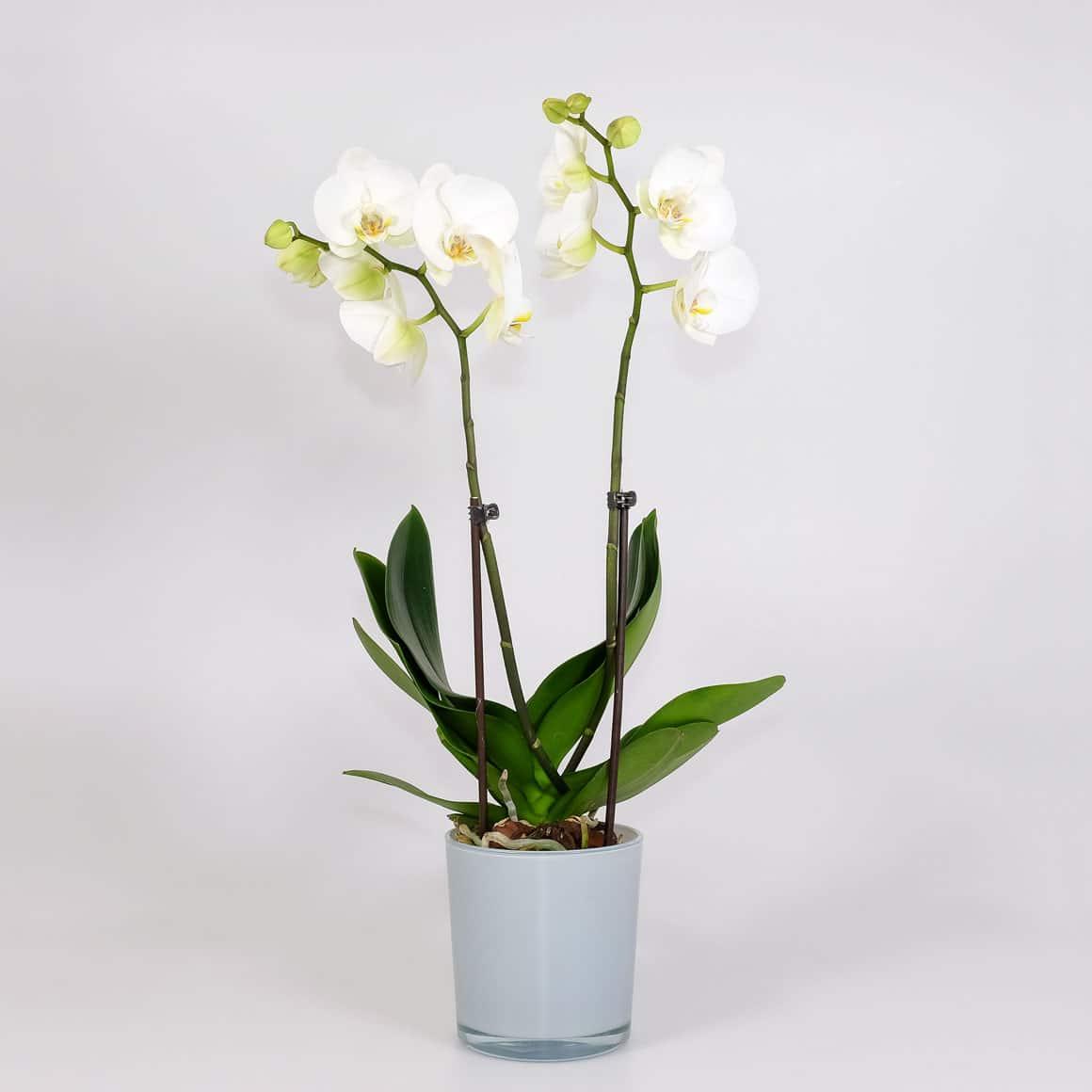 Pflanze Orchidee 2 Rispen