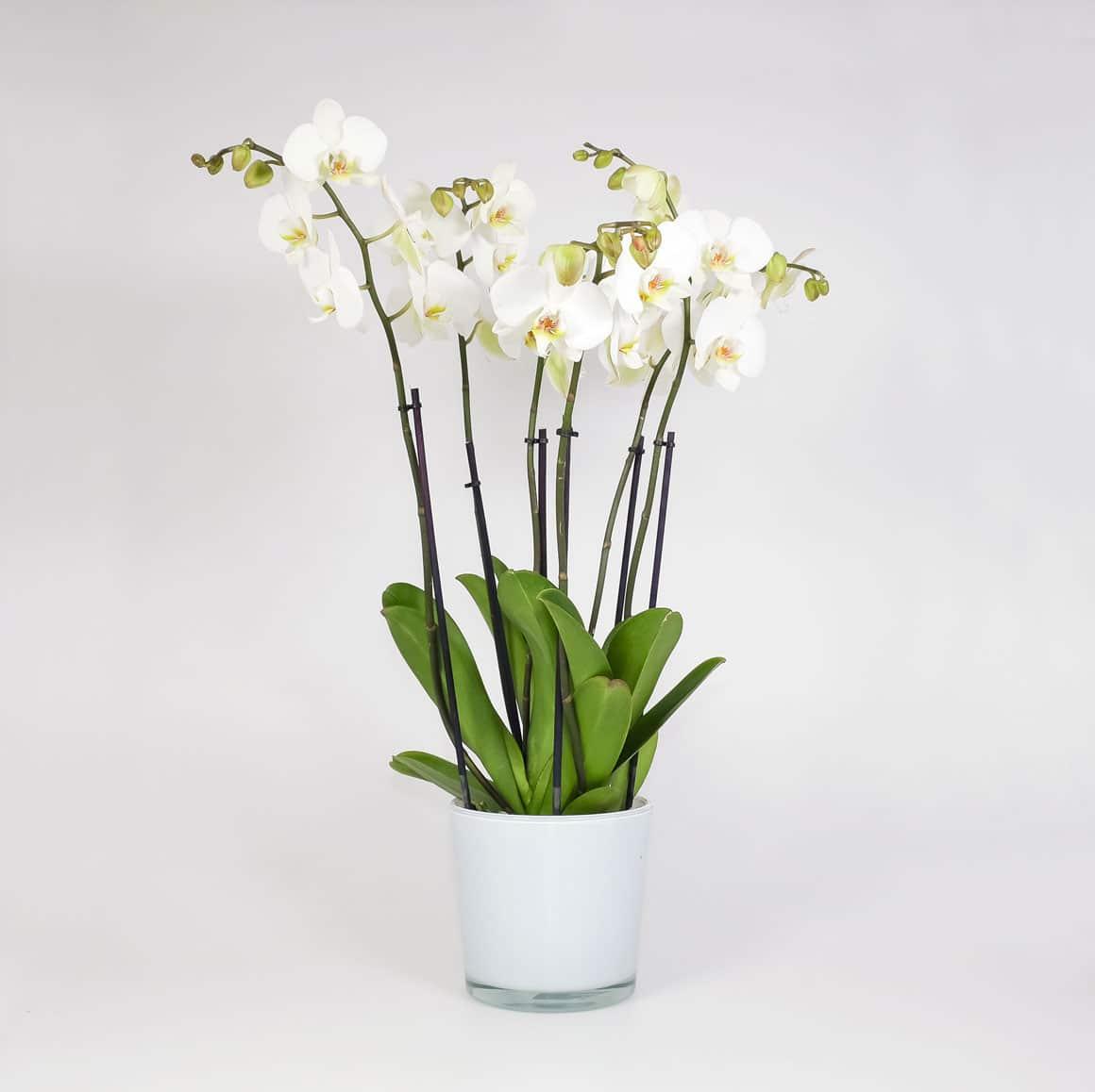 Pflanze Orchidee 5 Rispen